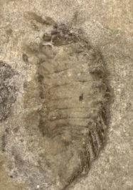 Isopode