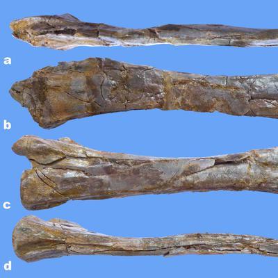 Giraffenhals-Sauriers Halswirbel