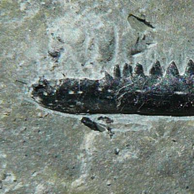 Rhynchocephale Kiefer