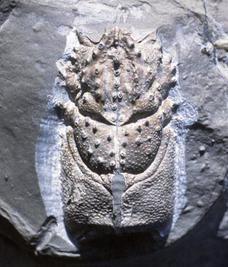 Pseudopemphix