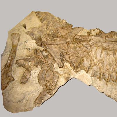 Batrachotomus Skelett