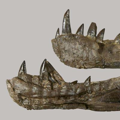 Batrachotomus Unterkiefer