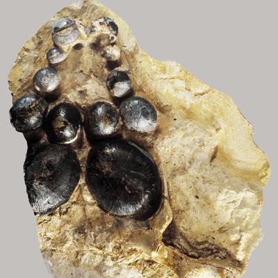 Cyamosus kuhnschnyderi
