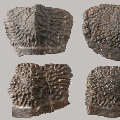 Jaxtasuchus Osteoderme