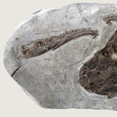 Kupferzellia