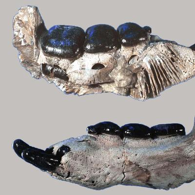 Placodus Unterkiefer