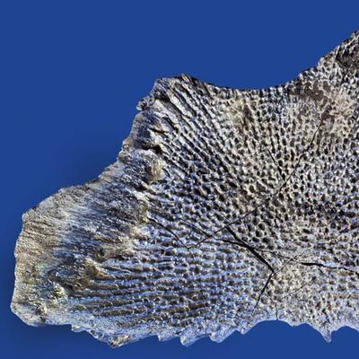 Plagiosternum