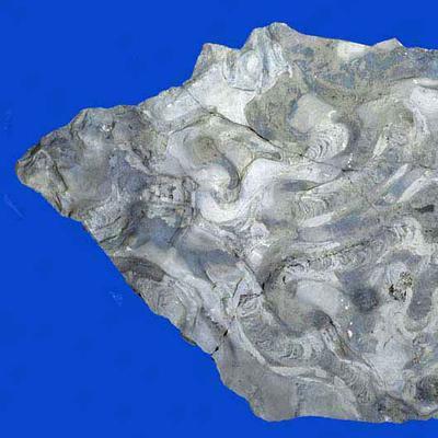 Rhizocorallium