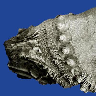 Triadotiaris